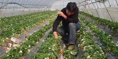 草莓種植,如何除草?