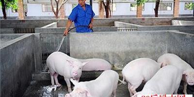 養豬管理經驗:如何正確給豬驅蟲?