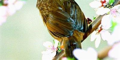 描寫畫眉鳥的句子 描寫畫眉鳥的好句好段