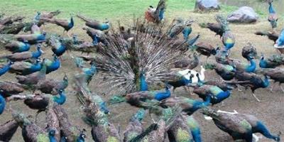 孔雀養殖是賺錢致富的養殖項目,養孔雀要做好哪些準備?